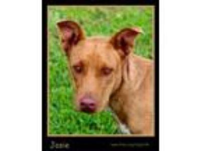 Adopt Josie a Terrier
