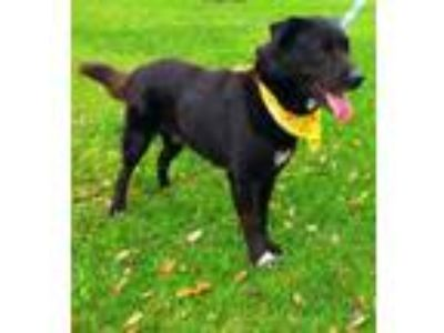 Adopt Niko - N a Black - with White Flat-Coated Retriever / Labrador Retriever /