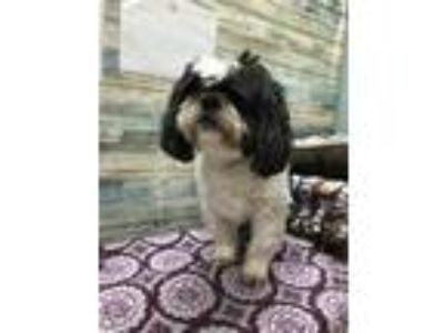 Adopt Jackie a White Shih Tzu / Mixed dog in Scottsbluff, NE (25324619)