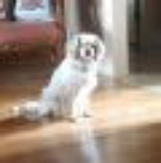 Callie Cavalier King Charles Spaniel Dog