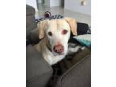 Adopt Ruby a Tan/Yellow/Fawn - with White Labrador Retriever / American Pit Bull