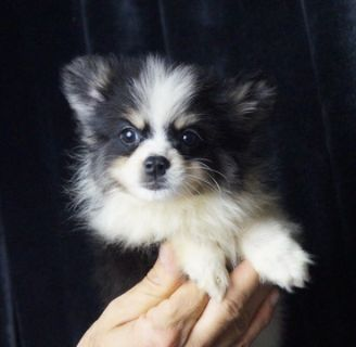 Pomeranian PUPPY FOR SALE ADN-89884 - Adorable AKC Pomeranian Puppies Ready to go