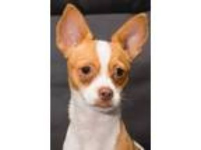 Adopt Puppy Tweety a Terrier