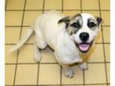 Adopt Ally a White - with Brown or Chocolate Basset Hound / Jack Russell Terrier