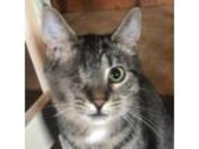 Adopt Samantha a Gray or Blue Domestic Shorthair cat in Pendleton, NY (23590691)