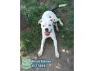 Adopt Nicole Kidman a White - with Black Pit Bull Terrier / Mixed dog in