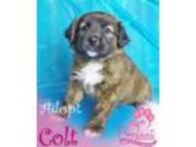 Adopt Colt a Shar-Pei, Border Collie