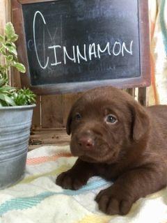 Labrador Retriever PUPPY FOR SALE ADN-90384 - AKC REGISTERED ENGLISH LABRADOR RETRIEVERS