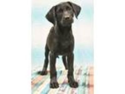 Adopt Anne a Black Goldendoodle / Labrador Retriever / Mixed dog in Nashville