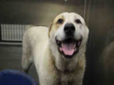 Adopt THOMAS a White - with Brown or Chocolate Great Pyrenees / Labrador