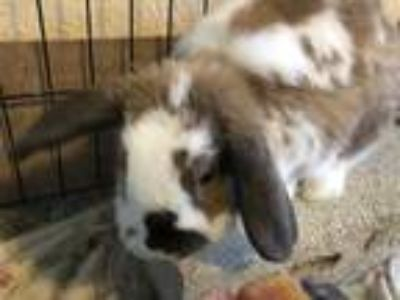Adopt Mr Bun a Chocolate Lop-Eared / Mixed (short coat) rabbit in West Palm