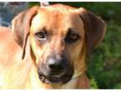 Adopt GABRIEL a Redbone Coonhound, Black Mouth Cur