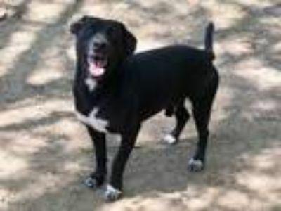 Adopt Zig a Black Labrador Retriever