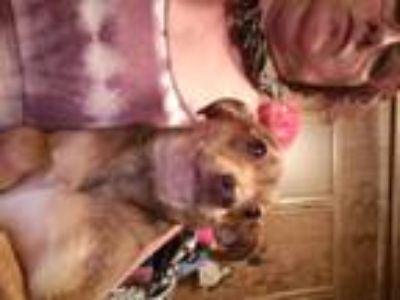 Adopt Cookie a Red/Golden/Orange/Chestnut - with Black Italian Greyhound /