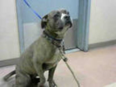 Adopt * a Brown/Chocolate American Pit Bull Terrier / Mixed dog in San Jose