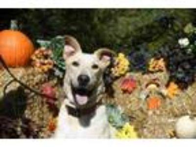 Adopt Legolas a Labrador Retriever, Husky