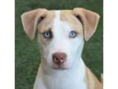 Adopt Muriel a White - with Tan, Yellow or Fawn Pit Bull Terrier / Mixed dog in