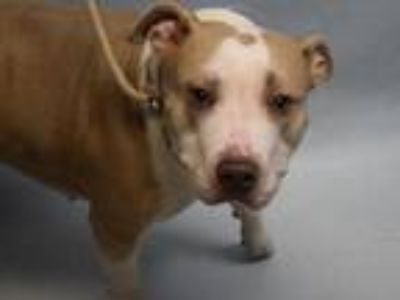 Adopt Bella a Tan/Yellow/Fawn - with White American Staffordshire Terrier /