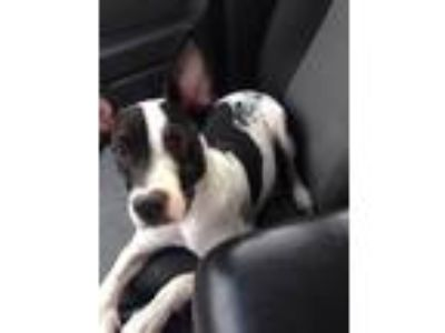 Adopt Freska a White - with Black Bull Terrier / Border Collie / Mixed dog in