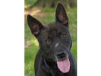 Adopt Vazy a Black Shepherd (Unknown Type) / American Pit Bull Terrier / Mixed