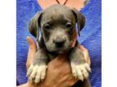 Adopt Ocean a Staffordshire Bull Terrier / Mixed dog in Madison, NJ (25867037)