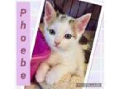 Adopt Pheobe a Domestic Short Hair