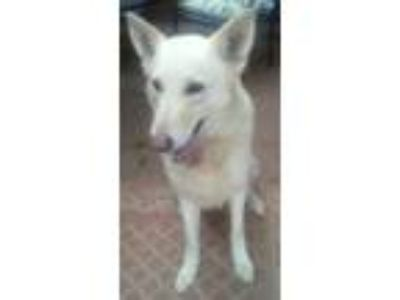 Adopt Champ a White - with Gray or Silver German Shepherd Dog / Wirehaired