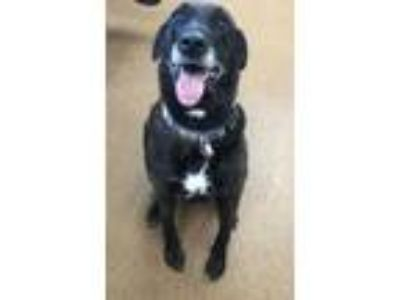 Adopt Irma a Black Labrador Retriever / Mixed dog in Winfield, KS (25265947)