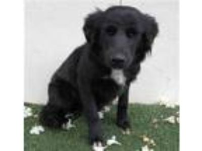 Adopt a Black - with White Border Collie / Mixed dog in Visalia, CA (25326067)
