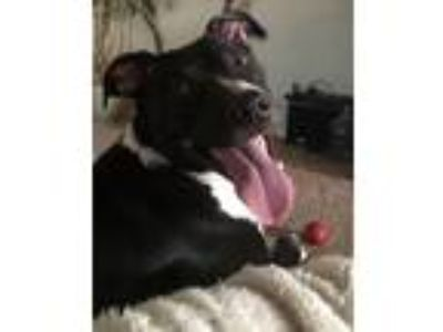 Adopt Lucy a Black - with White American Staffordshire Terrier / Mixed Breed