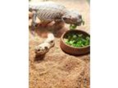 Adopt Ash a Lizard reptile, amphibian, and/or fish in San Diego, CA (25283122)