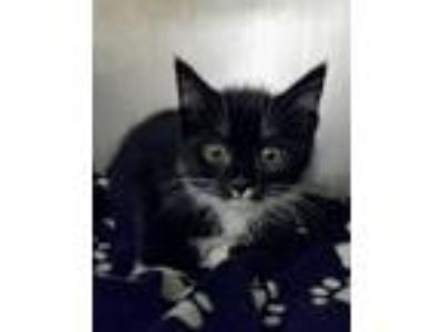 Adopt Pongo a Domestic Short Hair