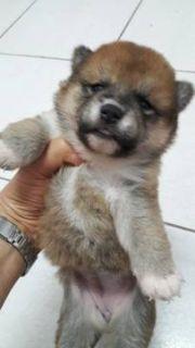 Shiba Inu PUPPY FOR SALE ADN-72464 - Super Red Shiba Inu puppy for LA
