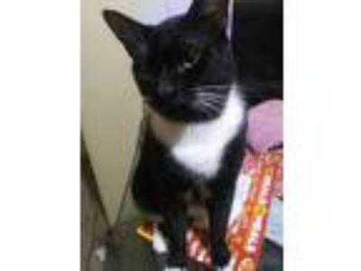 Adopt Ace a Black & White or Tuxedo Domestic Mediumhair / Mixed cat in Ocala