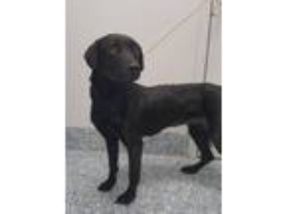 Adopt Stacy a Labrador Retriever / Mixed dog in Angola, IN (25881606)