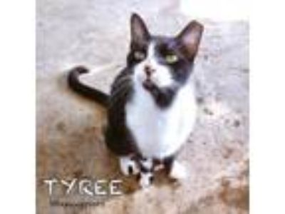 Adopt Tyree a American Shorthair