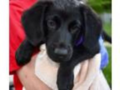 Adopt Aspen a Flat-Coated Retriever / Labrador Retriever / Mixed dog in