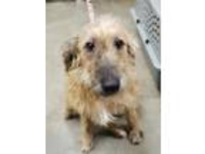 Adopt Miso a Tan/Yellow/Fawn Whippet / Irish Terrier / Mixed dog in Lihue