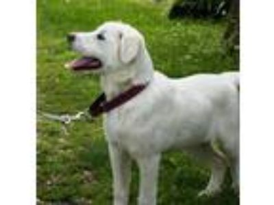 Adopt Nanook a White Great Pyrenees / Anatolian Shepherd / Mixed dog in Green