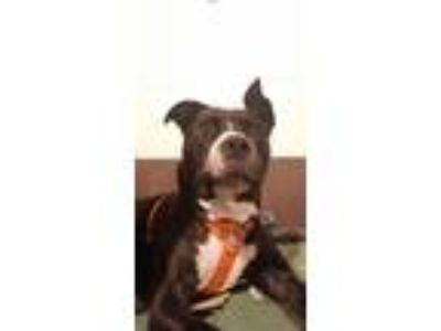 Adopt Scallions a Brindle Pit Bull Terrier / Mixed Breed (Large) / Mixed dog in