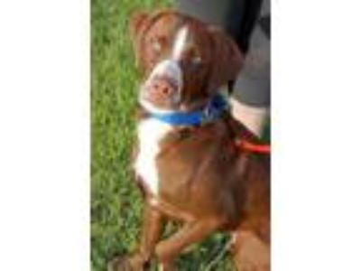 Adopt Cognac a Labrador Retriever, Border Collie