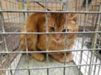Adopt BARN CAT a Orange or Red Domestic Shorthair / Mixed (short coat) cat in