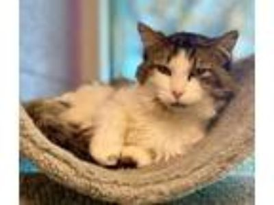 Adopt 59065 Fonz a Brown or Chocolate Domestic Mediumhair / Domestic Shorthair /