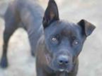 Adopt STEVIE a Pit Bull Terrier, Labrador Retriever