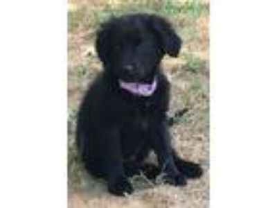 Adopt June a Australian Shepherd, Flat-Coated Retriever