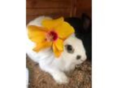 Adopt Cindy Crawford a White Lionhead / Mixed (long coat) rabbit in Baltimore