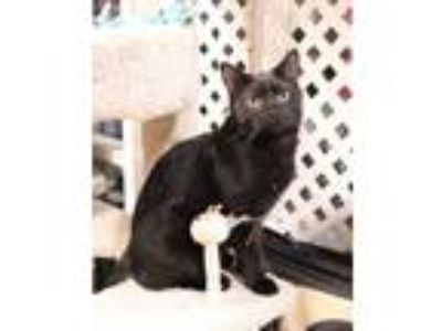 Adopt Wally a Domestic Short Hair