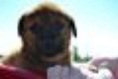 Agent Blye German Shepherd Dog - Mastiff Dog