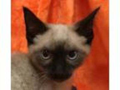 Adopt Dahlia a Brown or Chocolate Siamese / Mixed (short coat) cat in Knoxville