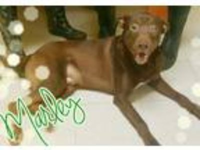 Adopt Marley a Brown/Chocolate Labrador Retriever / Mixed dog in Odessa